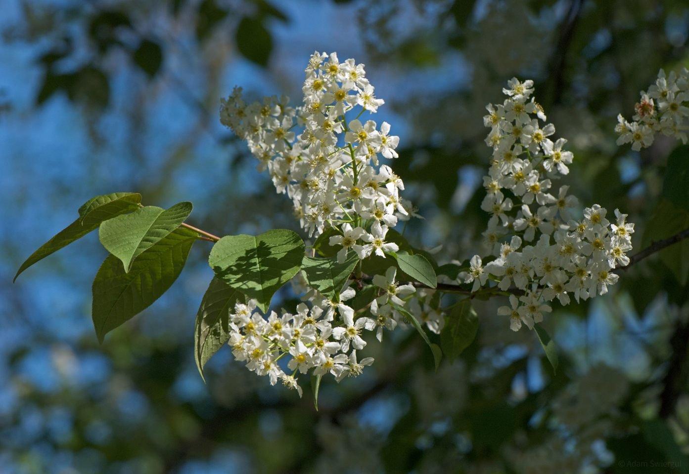 Kwitnąca Czeremcha