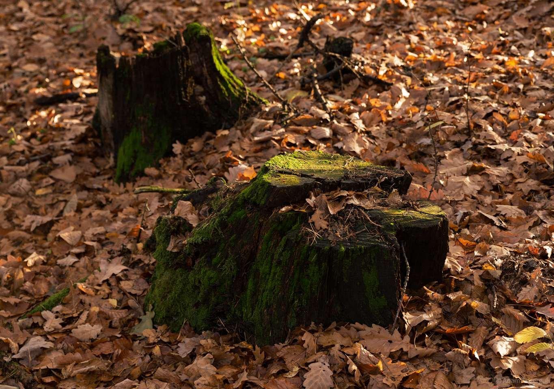 Pnie w lesie