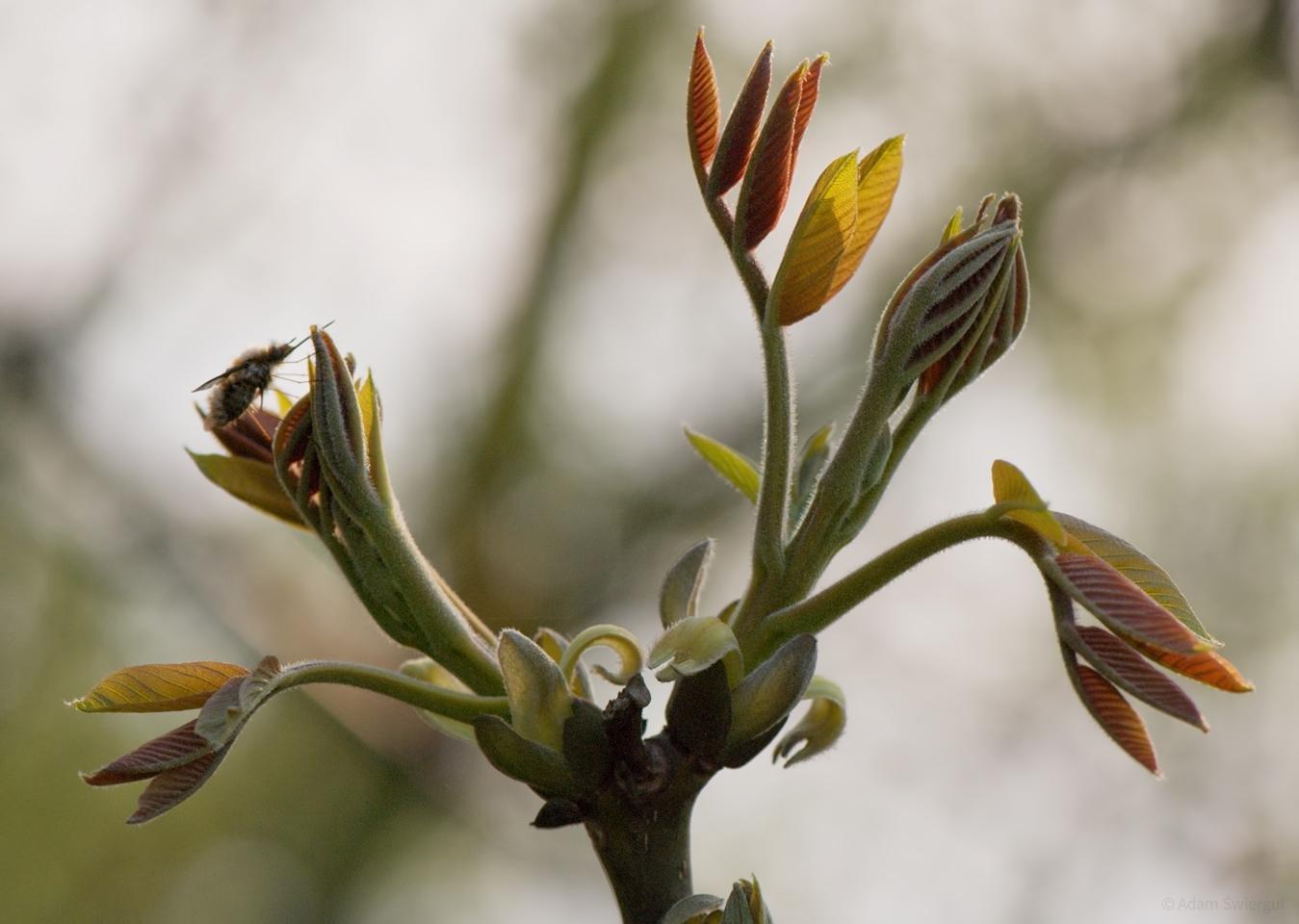 Rozwijanie liści