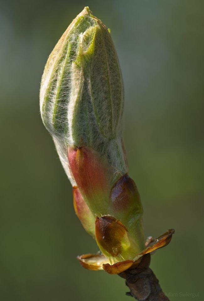 Liście w pąkach