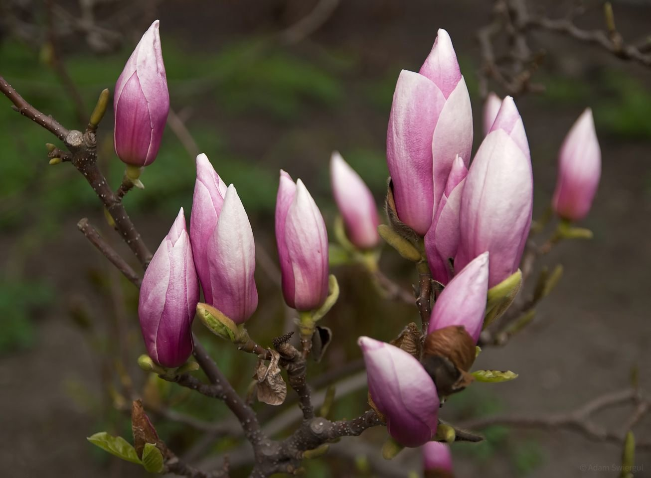 Magnolia, pąki