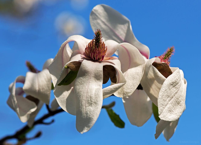 Magnolia - wnętrze kwiatu