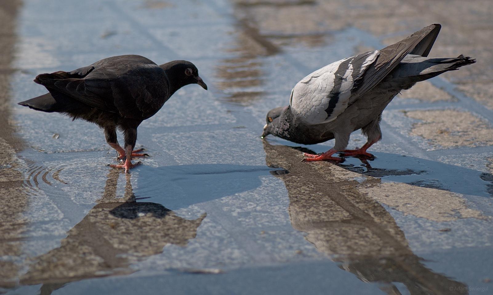 Pijące gołębie