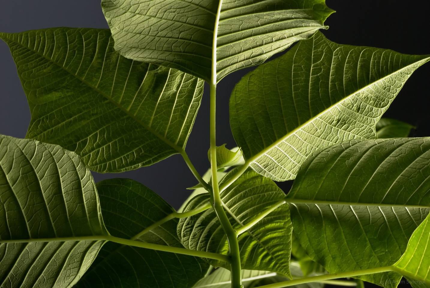 Poinsecja, liście