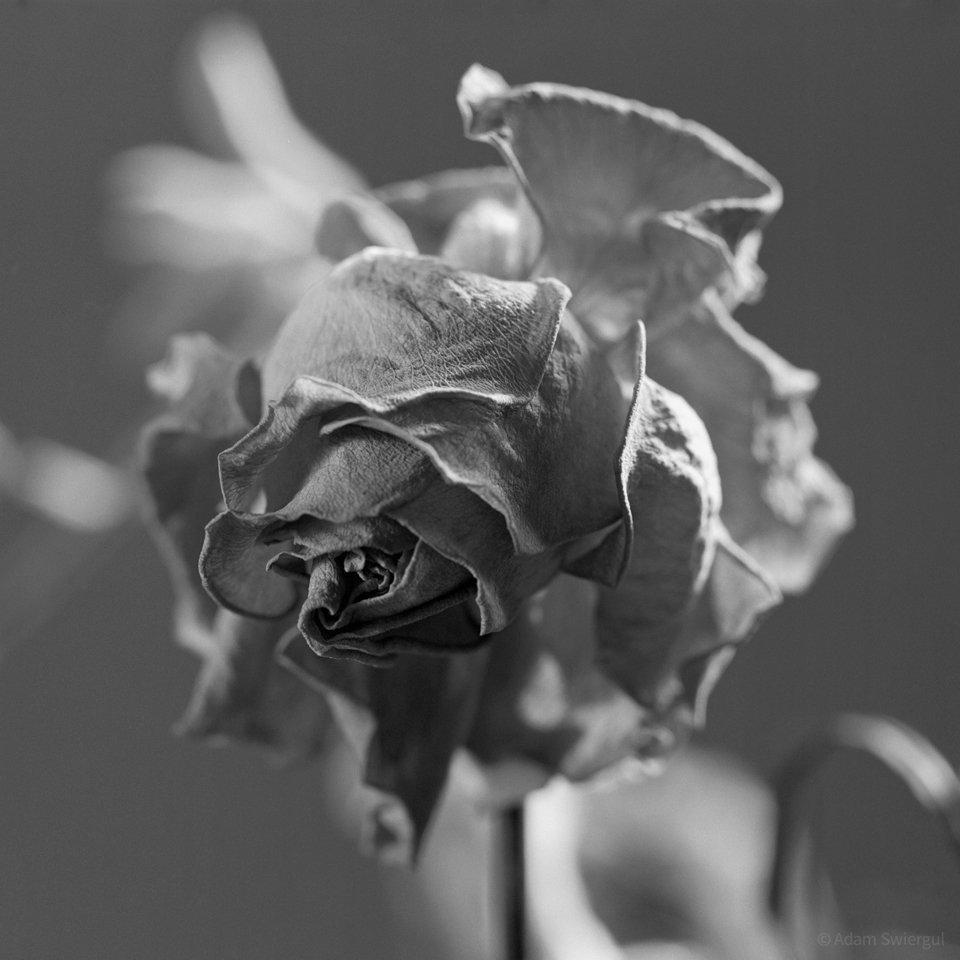 Uschnięta róża