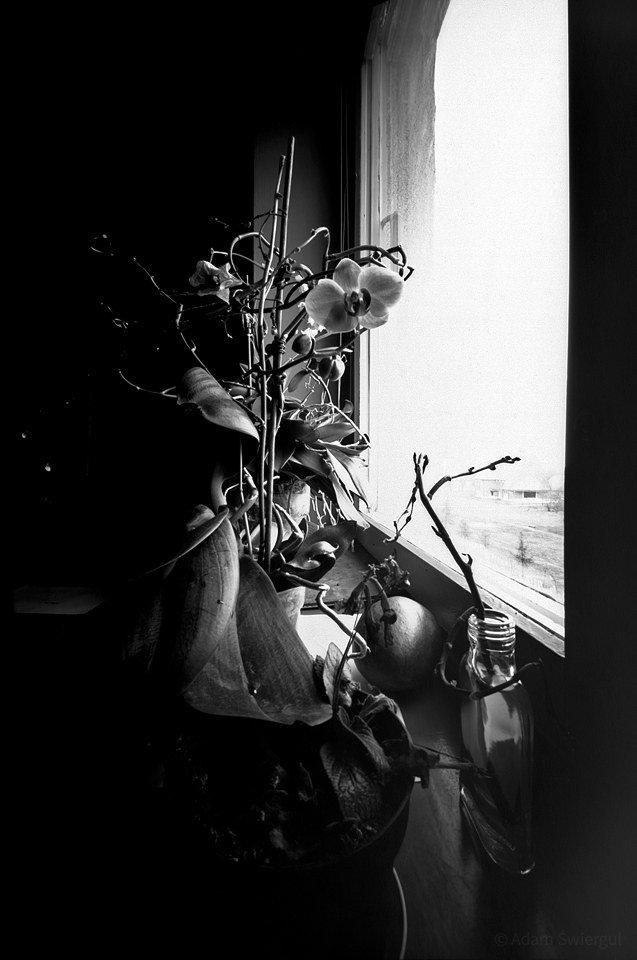 Storczyk na oknie