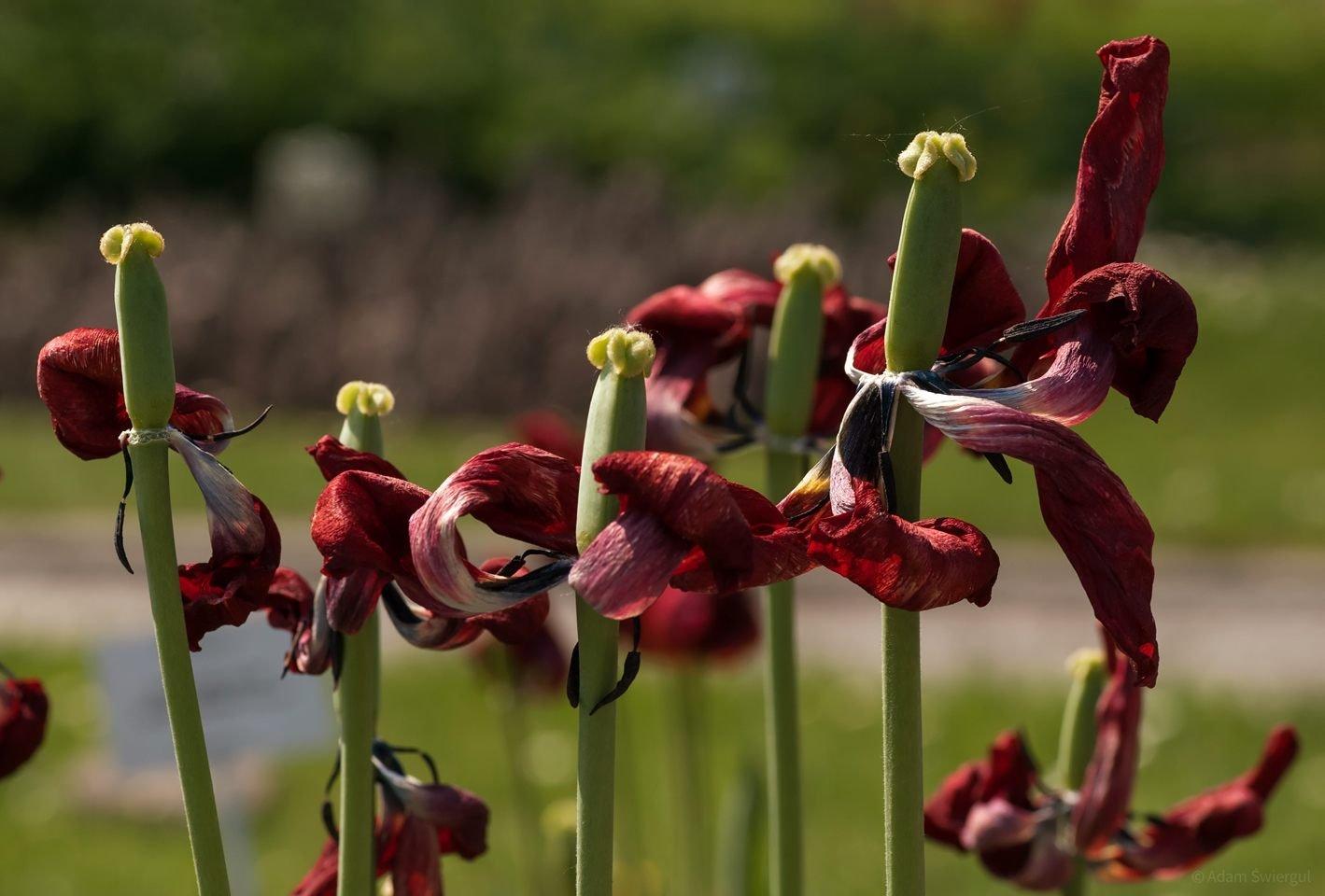 Tulipany przekwitłe