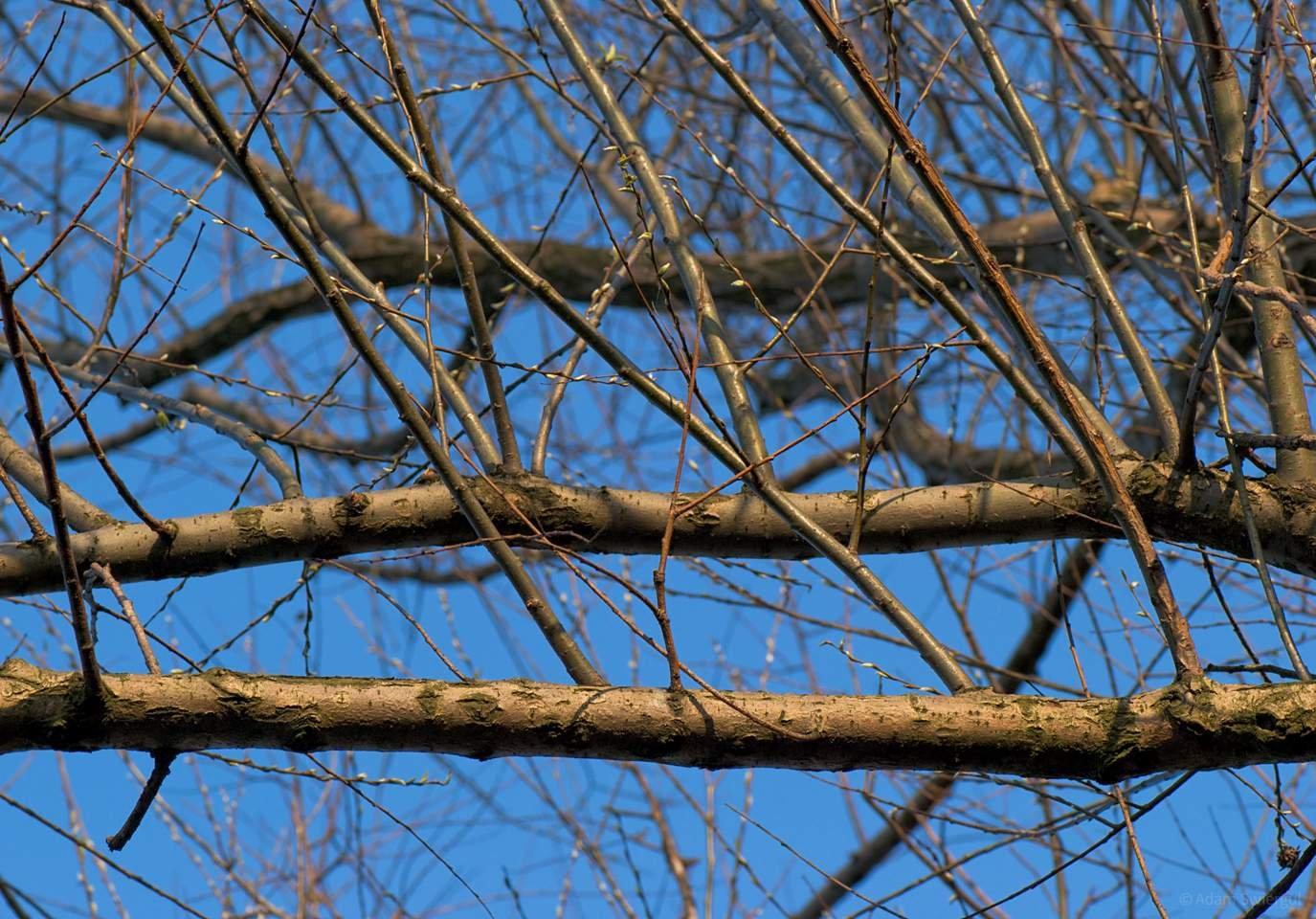 Gałęzie wierzby